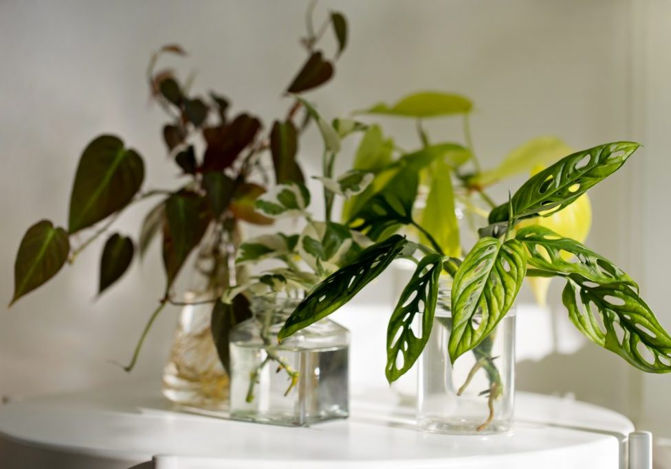 Stylish water propagation house plants on the shelf against a white wall with light streams illuminating the room. Minimalist. Concept and space for copy.
